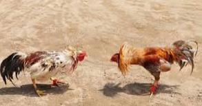 Sabung Ayam Judi Online Ayam